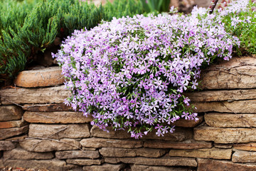 Perennial ground cover blooming plant. Creeping phlox - Phlox subulata or moss phlox on the alpine flowerbed. Selective focus. Wall mural