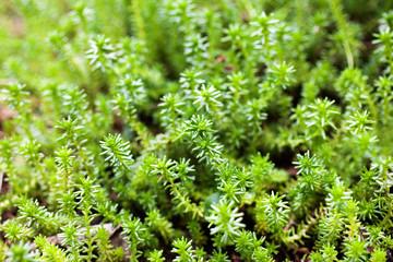 Sedum rupestre ssp. reflexum background of foliage.
