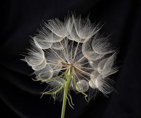 Obraz Kwiat mniszka lekarskiego - fototapety do salonu