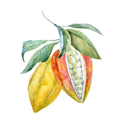 Watercolor vector cacao fruits