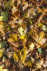 Full frame background of fall leaves piled on the ground shining in autumn sun