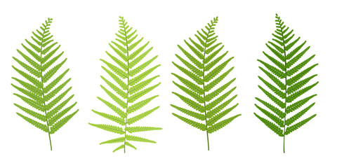 Realistic tropical green fern leaves set isolated on white background.