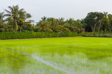 Palm trees and paddy field in cloudy day. Mekong Delta, Vietnam