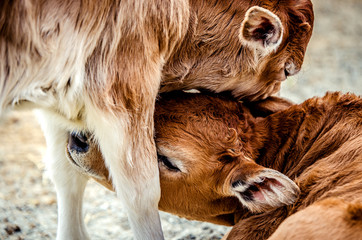 Small calves pressed their muzzles to each other.