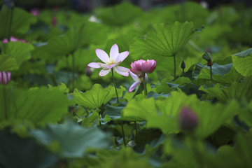 The lotus of summer blooming