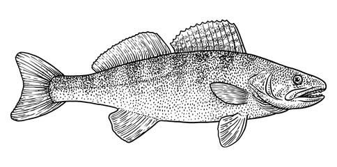 Pike perch illustration, drawing, engraving, ink, line art, vector