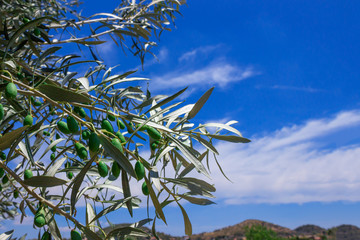 Branch of olive tree with ripe olives. Greece.