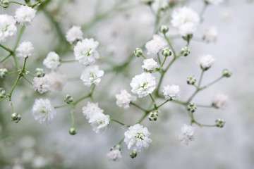 Close up of little white Gypsophila(Baby's-breath) flowers