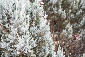 Close up white pine tree with blurred background