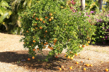 Orange tree in a Citrus grove farm in Florida