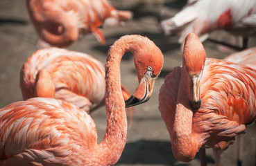 Two large pink Flamingo closeup.