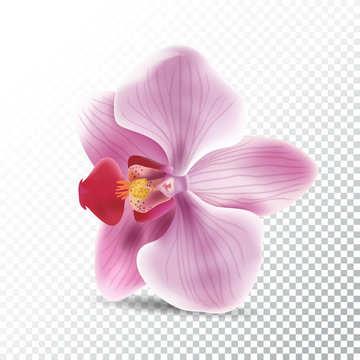 Orchid flower isolated on transparent background. Vector realistic illustration of orchid pink flower.