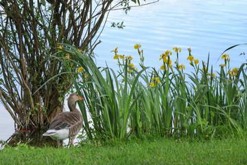 Graugans, Wasserlilien, See