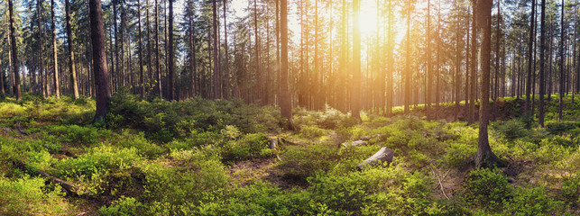 Silent Forest at sunrise with beautiful bright sunlight panroama