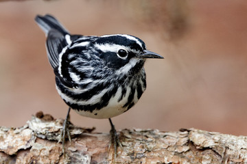 Black and White Warbler bird in a natural landscape