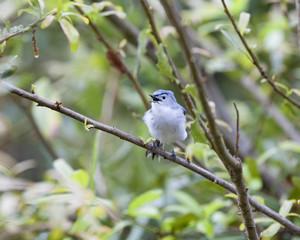 Blue-gray gnatcatcher bird in a natural landscape