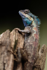 a close up shot of a blue lizard (lacerta viridis)