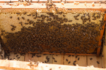 Bee frame with bees family. Lots of fresh honey