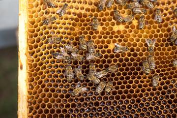 queen bee in the honey comb with honey