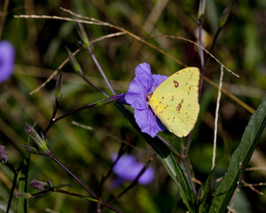 Cloudless Sulphur Butterfly on a coral purple geranium flower in a natural landscape