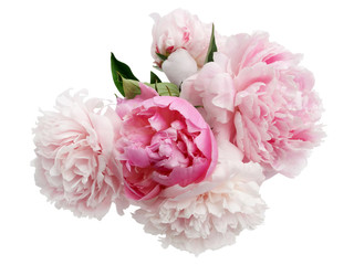Beautiful pink Peonie flower on light background