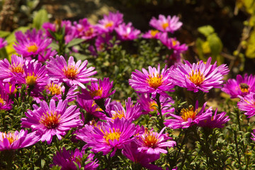 Violin Blossoms of Aster