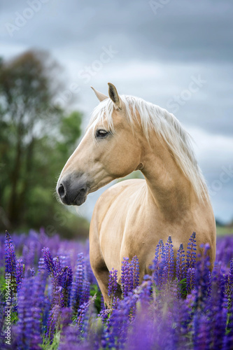 Vertical portrait of a Palomino horse among lupine flowers.