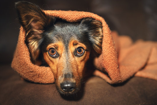 Small black and brown dog hiding under orange blanket on couch looking scared worried alert frightened afraid wide-eyed uncertain anxious uneasy distressed nervous tense