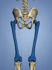 Femur, 3D Model