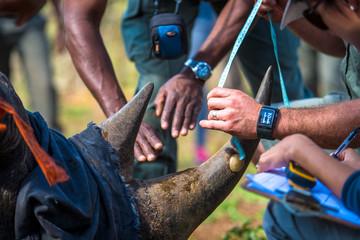 De-horning of an endangered Black Rhino to lessen the incentive for poachers of rhino horn.  Somkhanda Game Reserve, Mkuze (Wildlife ACT & Wildlands)