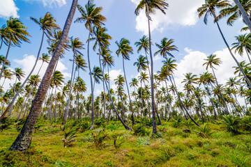 Coconut tree forest plantation field farm Mayaro Manzanilla Trinidad and Tobago