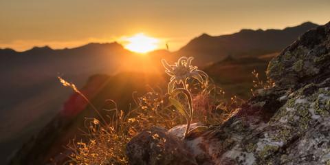 Edelweiss auf Fels in der Abendsonne in den Alpen als Panorama Wall mural