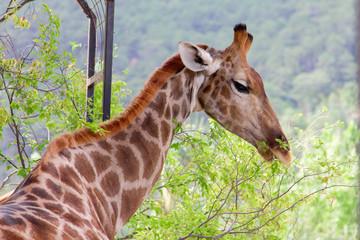 Giraffe eating green leaves from tree