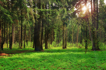Green forest bright sunny day shine rays of sun