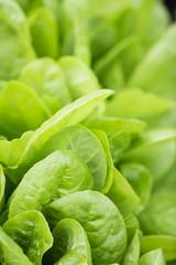 Fresh lettuce leaves, close up. Healthy organic food.