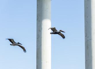 Pelicans flying under a bride