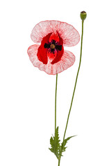 The flower of a poppy with unusual coloring of petalsisolated on white background
