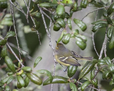 White eyed Vireo warbler bird in a natural landscape
