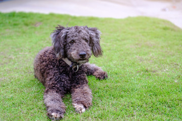 Little black poodle dog on green grass,Thailand