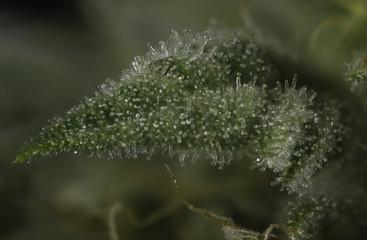 Macro detail of cannabis bud (Thousand Oaks marijuana strain) with visible trichomes