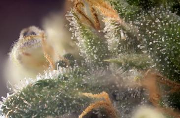 Macro detail of cannabis bud (Russian Black marijuana strain) with visible trichomes