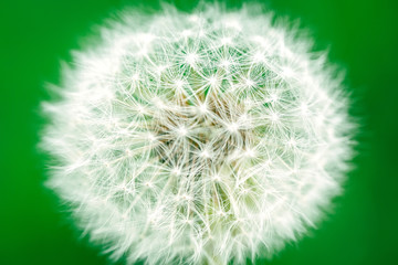 Dandelion on a green background.