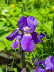 Iris Germanica, purple flower and bud on stem at flowerbed closeup, selective focus, shalow DOF