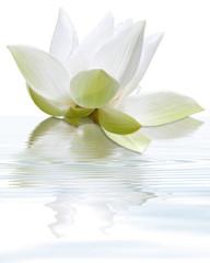 lotus blanc flottant, fond blanc