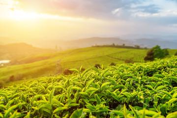 Amazing tea leaves at tea plantation in rays of sunset