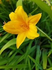 Beautiful yellow daylily on the garden