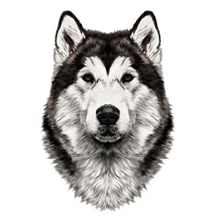 dog breed Alaskan Malamute head symmetry looks right sketch vector graphics color picture