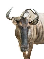 Wildebeest isolated