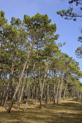 Pin maritime, Pin des Landes,  Pinus pinaster, Foret Landaise, 33, Gironde