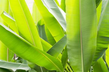 Bananenblätter in der Sonne